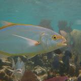 Yellow JackFish. Also likes Pringles. St Thomas Snorkeling.