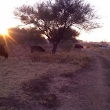 On the way to work, cattle roaming