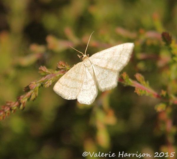 20-wave-moth