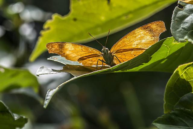 Temenis laothoe hondurensis Fruhstorfer, 1907. Fundo Palmarito, 265 m (Casanare, Colombie), 7 novembre 2015. Photo : B. Lalanne-Cassou