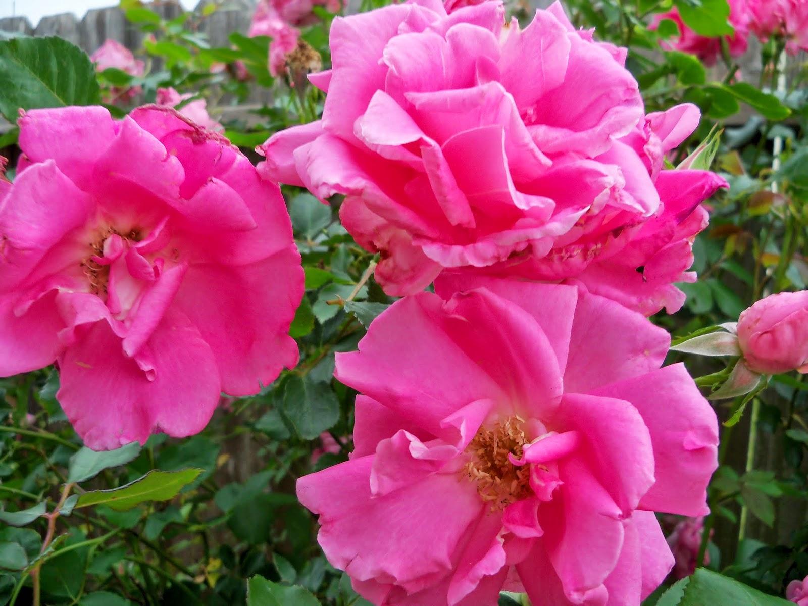 Gardening 2014 - 116_1507.JPG