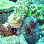 Zeekomkommer op een octopus