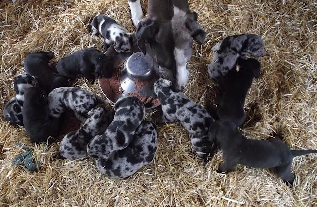 Gemma's babies get their first taste of dog food!