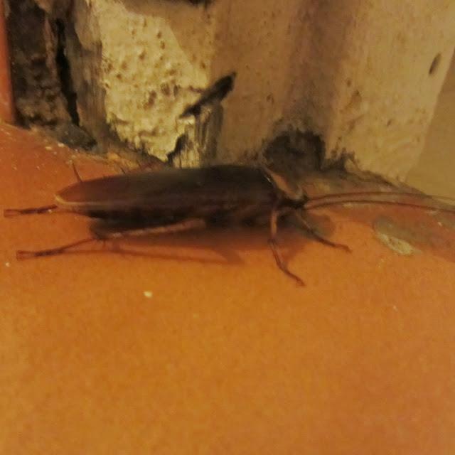 Cockroach, Kochi, India