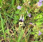 Bumblebee and bugleweed