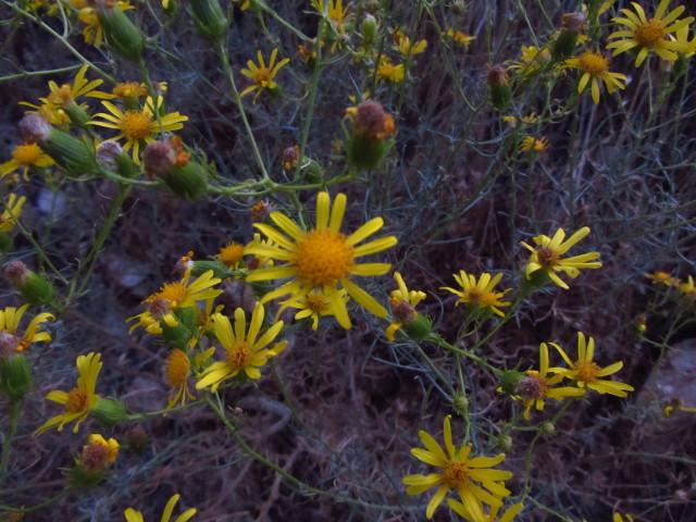 tall, small daisies