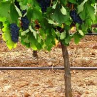 Sistema de rega gota-a-gota em 160 ha de vinha (Vendas Novas)