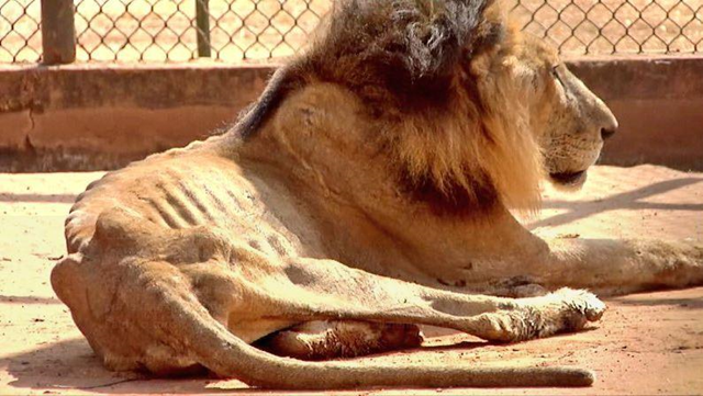 An emaciated lion in a zoo in the Venezuelan state of Zulia. Photo: Christian Veron / Twitter