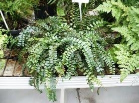 Ciemnotka okrągłolistna Pellaea rotundifolia