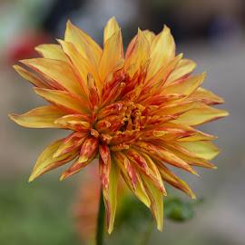 Still Opening by Janet Marsh - Flowers Single Flower ( orange, pescadero, dahlia )