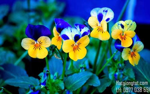 Hạt hoa bướm