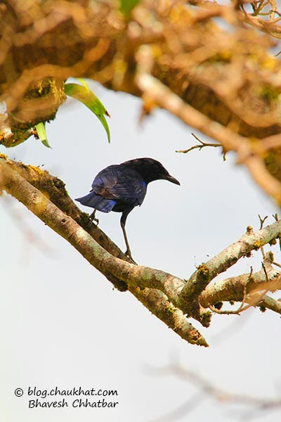 Malabar Whistling Thrush — Whistling Schoolboy — Myophonus horsfieldii — Muscicapidae family