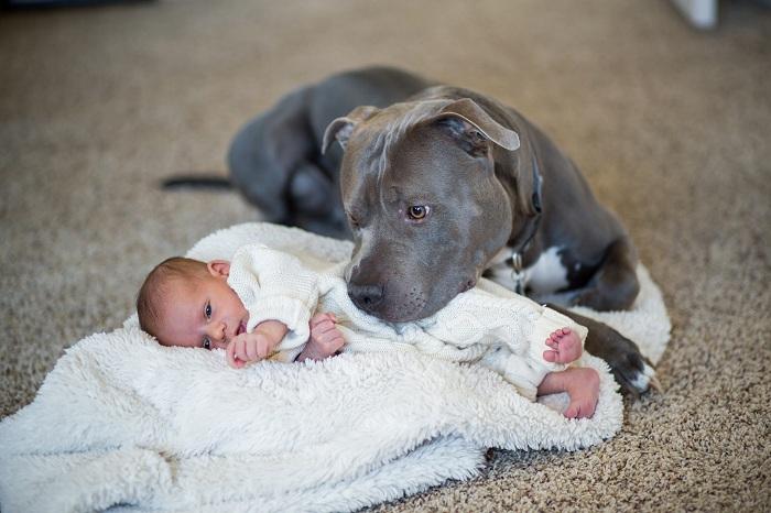 Chó American Pitbull - Tìm hiểu nguồn gốc, đặc điểm và giá bán chó Pitbull