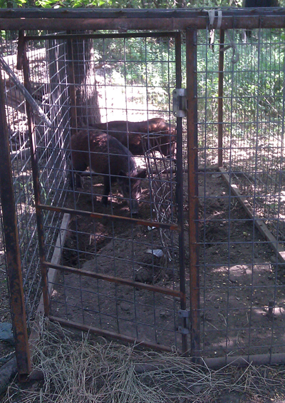 citytrapping trapped hogs with gate