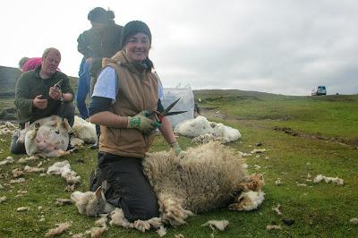 Schafschur Shetland