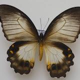 Papilio aegeus ormenus GUÉRIN-MÉNEVILLE, 1831, femelle forme ormenus var. onesimus. Meni, Arfak, 25 août 2007. Photo : J.-M. Gayman