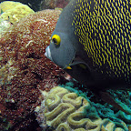 French angelfish (Windsock)