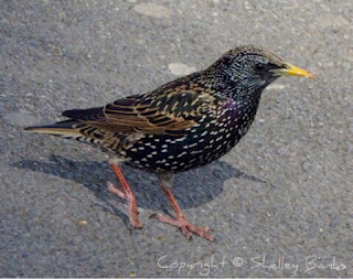 European Starling. Paris. Copyright  © Shelley Banks, all rights reserved.