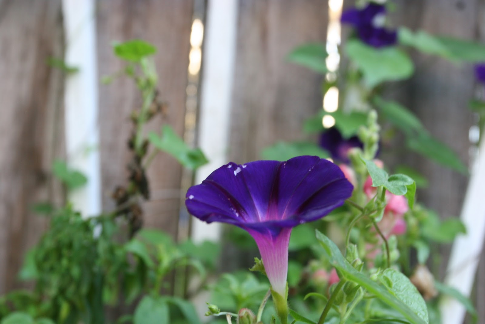 Gardening 2012 - IMG_3140.JPG