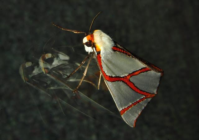 Geometridae : Ennominae : Nacophorini : Thalaina clara WALKER, 1855. Umina Beach (NSW, Australie), 25 avril 2011. Photo : Barbara Kedzierski