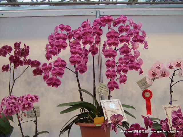 國際蘭展上美麗的蝴蝶蘭 | iGarden花寶愛花園