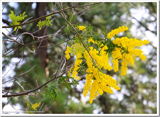 160215_UCDA_AcaciaGrove_Acacia-cultriformis_002