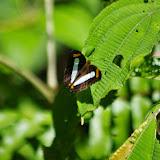 Adelpha iphiclus iphiclus (Linnaeus, 1758). Rambala, 90 m (Punta Peña, Bocas del Toro, Panamá), 27 octobre 2014. Photo : J.-M. Gayman
