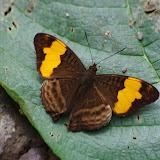 Adelpha saundersii saundersii (Hewitson, 1867). Quebrada sur la piste de Gualchan à Chical, 1600 m (Carchi, Équateur), 3 décembre 2013. Photo : J.-M. Gayman