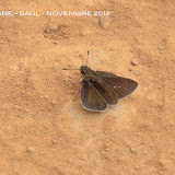 Cobalopsis nero HERRICH-SCHAEFFER, 1869. Saül, novembre 2012. Photo : M. Belloin