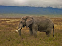A lone bull elephant in the Ngorongoro Crater.