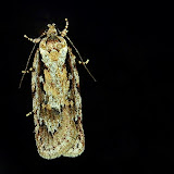 Tortricidae : Tortricinae : Acropolitis excelsa MEYRICK, 1910 (?). Umina Beach (NSW, Australie), 2 juin 2011. Photo : Barbara Kedzierski