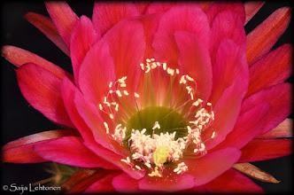 """Photo: """"trichocereus-hybrid"""" - © Saija Lehtonen  http://saija-lehtonen.artistwebsites.com/featured/trichocereus-hybrid-saija-lehtonen.html  #Cactus #Flowers #Nature #MacroMonday"""