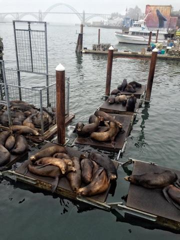 seals. oregon coast. newport, oregon