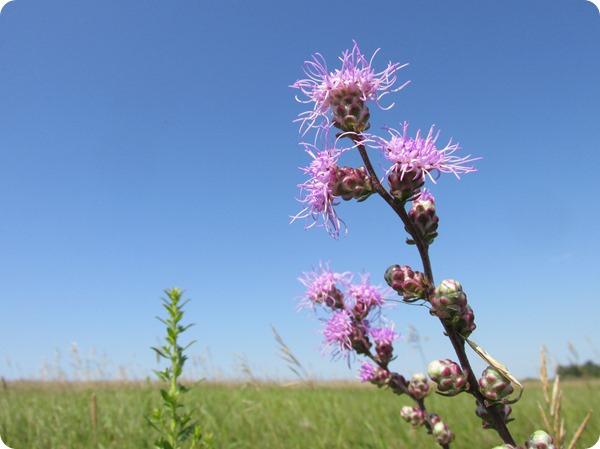 IMG_7852 Rough Blazing Star (Liatris aspera) Flower Plant (4)