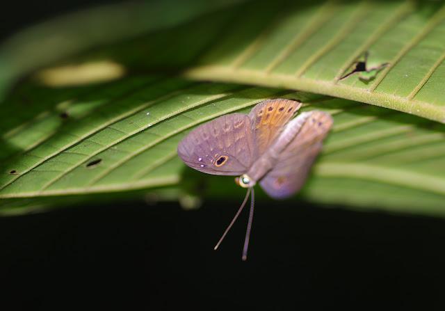 Eurybia nicaeus erythinosa Stichel, 1910. Bosque Bavaria (Villavicencio, Meta, Colombie), 9 novembre 2015. Photo : J.-M. Gayman