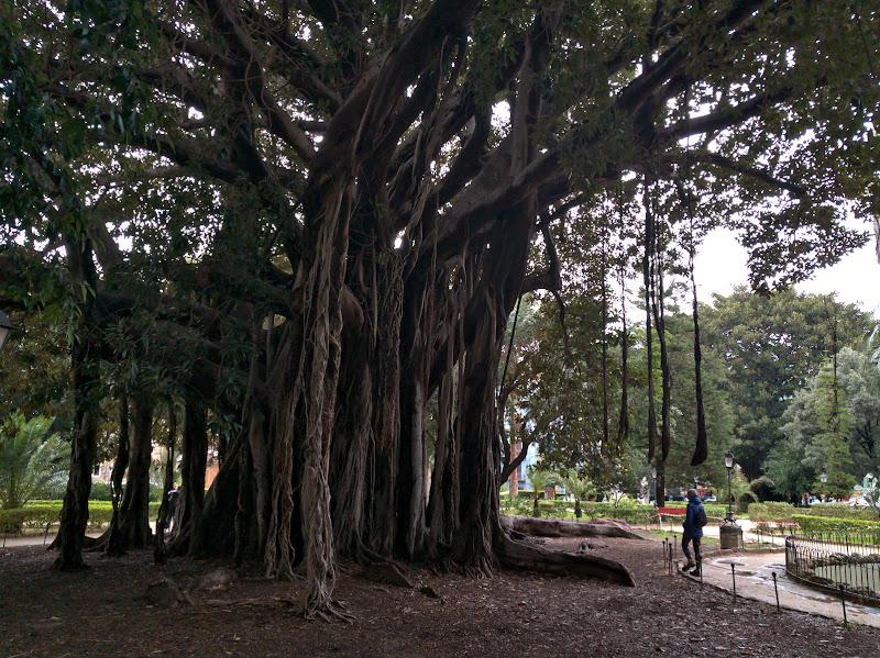 Ce se poate intampla cu un Ficus daca il lasi 150 de ani sa creasca.