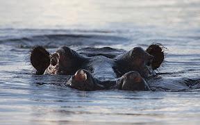 Hippo, Zambezi River, Botswana