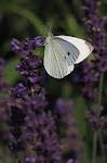 Ll. Kålsommerfugl på lavendel,2.jpg