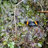 Probablement Hesperiidae : Mimoniades nurscia SWAINSON, 1821. Près de Coroico à 1000 m d'alt. (Yungas, Bolivie), 14 octobre 2012. Photo : C. Basset