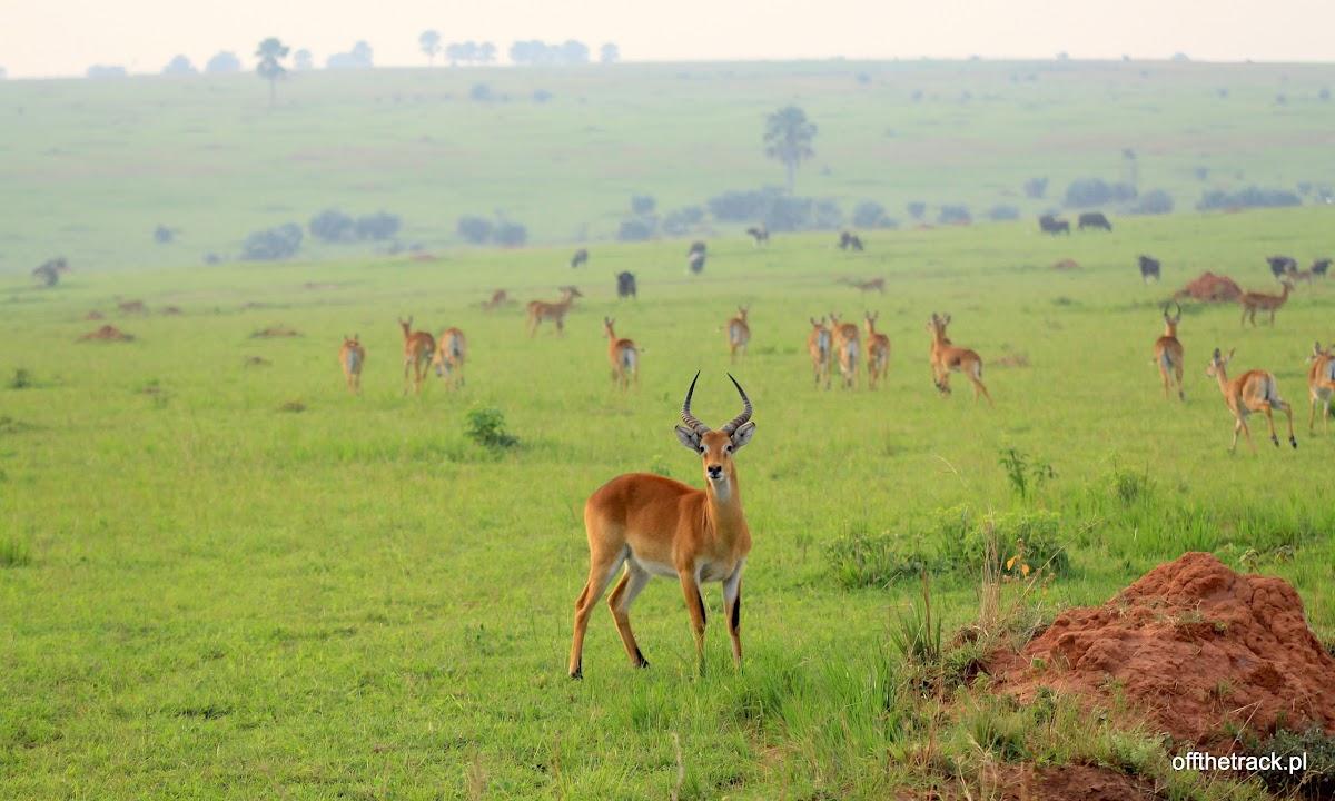 Antylopy kob w tle stado antylop na sawannie, park narodowy Murchison Falls, Uganda