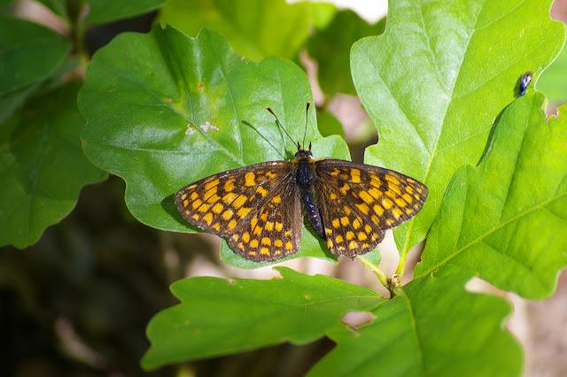 Mellicta athalia ROTTEMBURG, 1775, mâle, en forêt. Les Hautes-Lisières, 14 juillet 2009. Photo : Jean-Marc Gayman