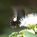 Papilio helenus helenus LINNAEUS, 1758, mâle. Jinghong (600 m), Xichuangbanna (Yunnan), 24 août 2010. Photo : J.-M. Gayman