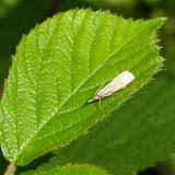 Crambidae : Crambinae : Chrysoteuchia culmella (LINNAEUS, 1758). Les Hautes-Lisières (Rouvres, 28), 14 juin 2011. Photo : J.-M. Gayman
