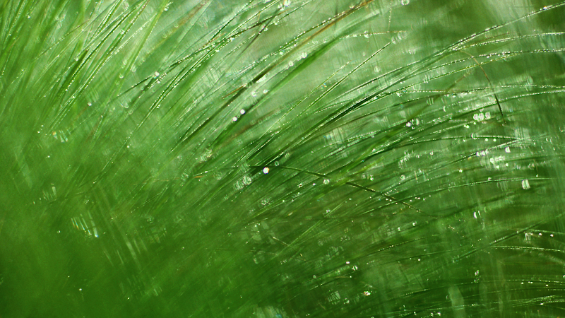 grass dew drops wallpaper