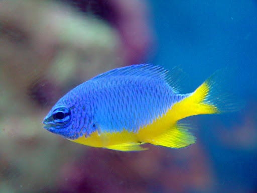 Elecci n de peces para un 100l todomarino foro de for Peces marinos para acuarios pequenos