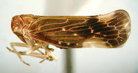Eocenchrea maorica. Photo MJ Fletcher. Citation: Fletcher, M.J. (1999) Identification key and checklists for the Planthoppers of Australia and New Zealand (Superfamily Fulgoroidea) http://www1.dpi.nsw.gov.au/keys/fulgor/index.html
