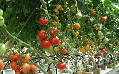 Độc đáo cách trồng cà chua lộn ngược sai trĩu trịt quả - 55dafb3cee86d
