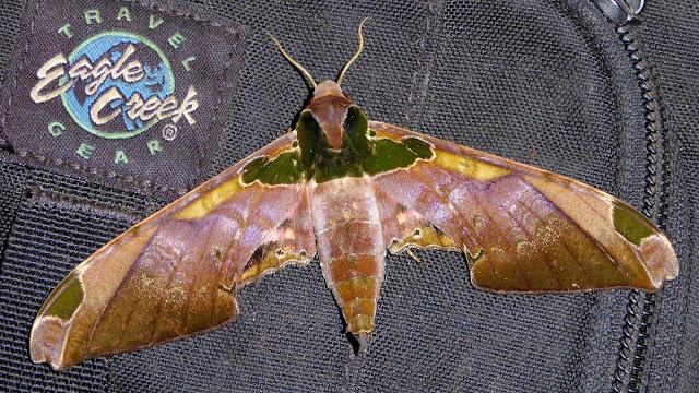 Sphinginae : Smerinthinae : Adhemarius ypsilon (Rothschild & Jordan, 1903), mâle. San Juan, près de Caranavi, 1000 m (Yungas, Bolivie), 10 décembre 2014. Photo : Jan-Flindt Christensen