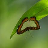 Riodinidae : Nymphidium caricae caricae (LINNAEUS, 1758), mâle. Sentier des Gros Arbres, Saül, 12 novembre 2012. Photo : J.-M. Gayman