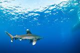 Longimanus approaching scuba divers, Daedalus reef (© 2015 Bernd Neeser)